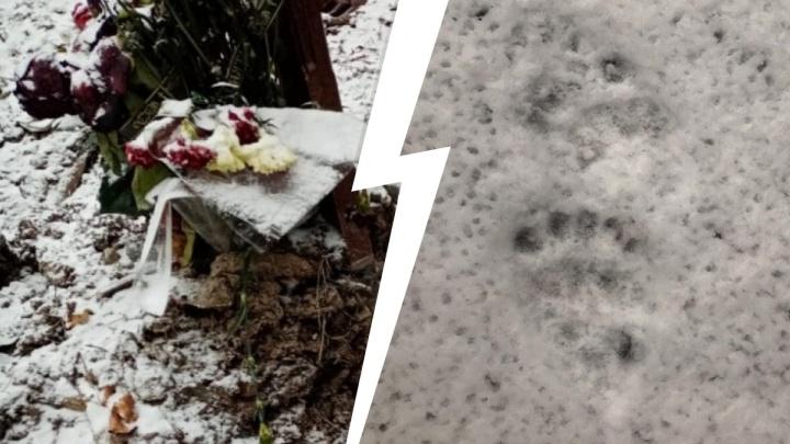 Раскапывают могилы, ломают деревья и пугают людей: на Урале продолжают буянить медведи