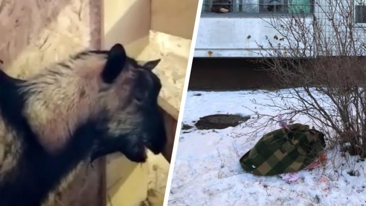 «Он просто плачет»: в Ярославле под окнами многоэтажки привязали к дереву истерзанного козленка
