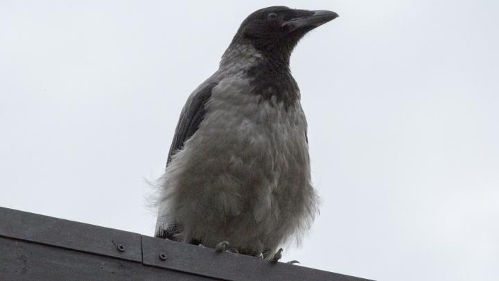 «С неба вороны атакуют, с земли — собаки»: волгоградцы жалуются на опасные прогулки в центре города