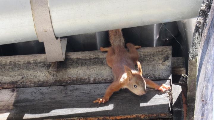 Белочка родила 3 детенышей и спрятала в гнезде над крышей администрации заповедника