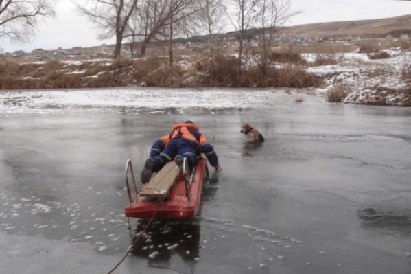 Собаку вытащили при помощи спасательной доски