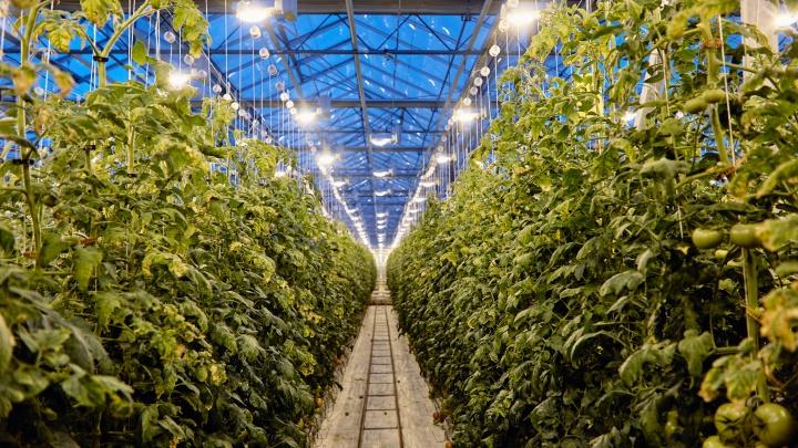 Нетепличные условия: огурцы, томаты и салат попросили господдержки