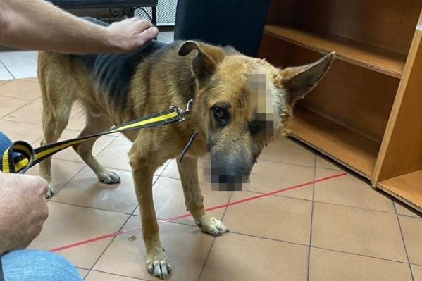 Курганские волонтеры рассказали об измученной собаке, которая едва не погибла из-за нанесенных ей ран