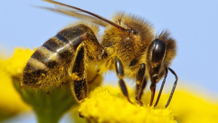 В Свердловской области запустили сервис, который поможет сократить гибель пчёл