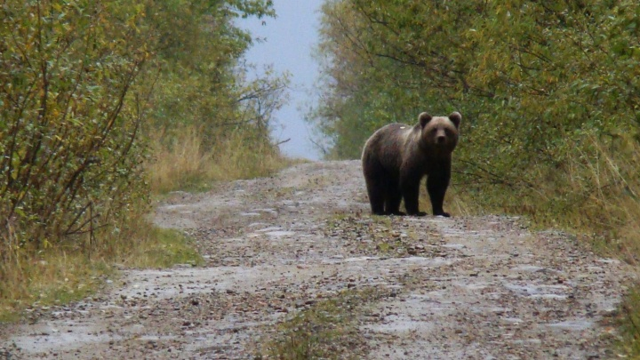 «Целая трагедия косолапого бедолаги». Специалист — о том, почему туристы в Прикамье вредят медведям, подкармливая их