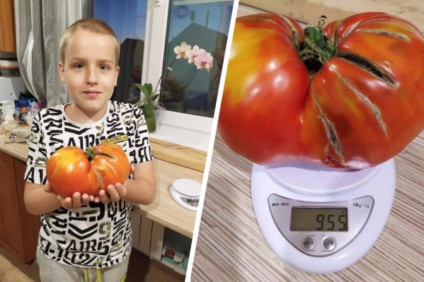 Помидор весит почти килограмм, он едва помещается в руках сына нашей читательницы