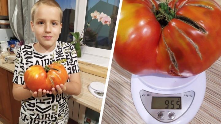 «Синьор-Помидор»: на огороде под Новосибирском вырос гигантский томат