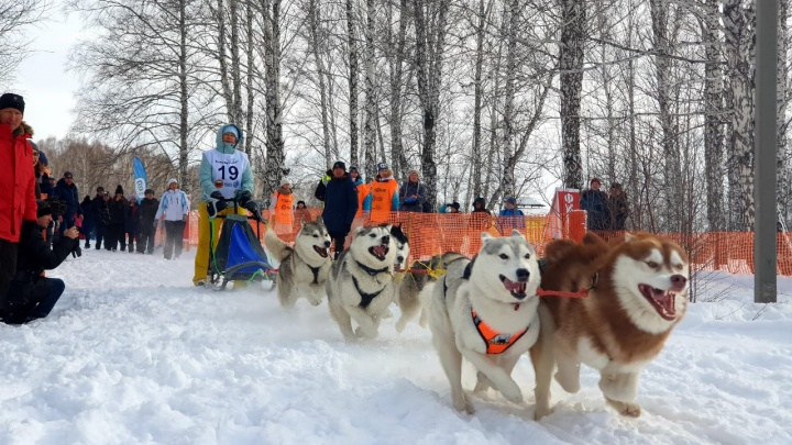 Снежные и нежные: 7 фото с гонок на собачьих упряжках под Новосибирском (умиление зашкаливает)