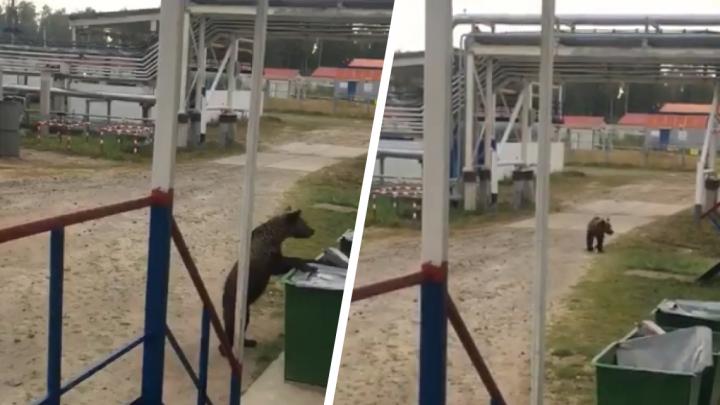 Медведь пришел стащить угощение: смотрим бесконечно милое видео с косолапым из Тобольска