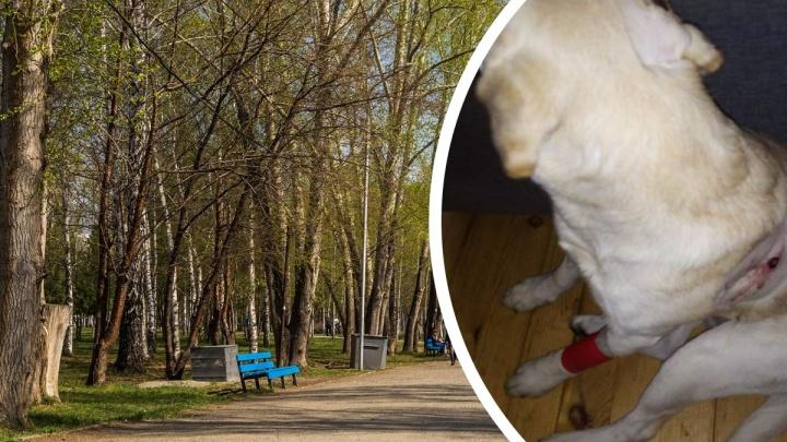 «Опускает пистолет, и три выстрела подряд»: в Новосибирске мужчина обстрелял собаку на прогулке