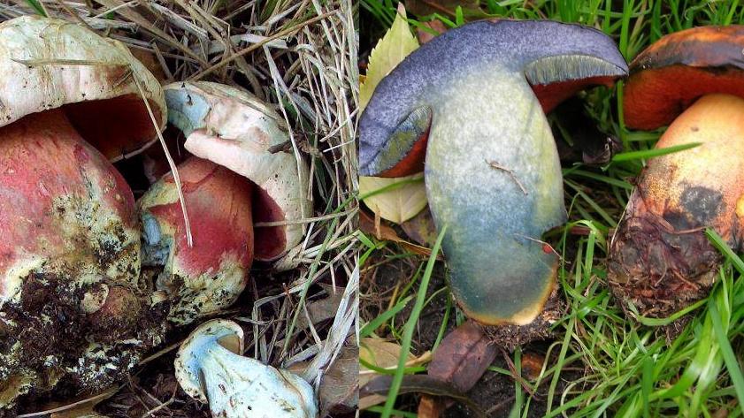 Невероятно красивые грибы со зловещей краснотой на ножке. Один съедобный — второй адски опасный. Какой заберете в корзину?