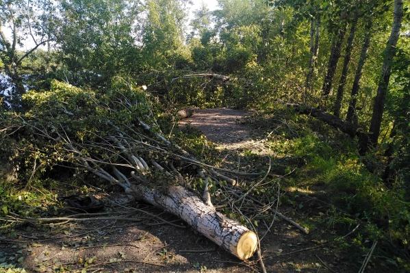 Сносят взрослые здоровые деревья