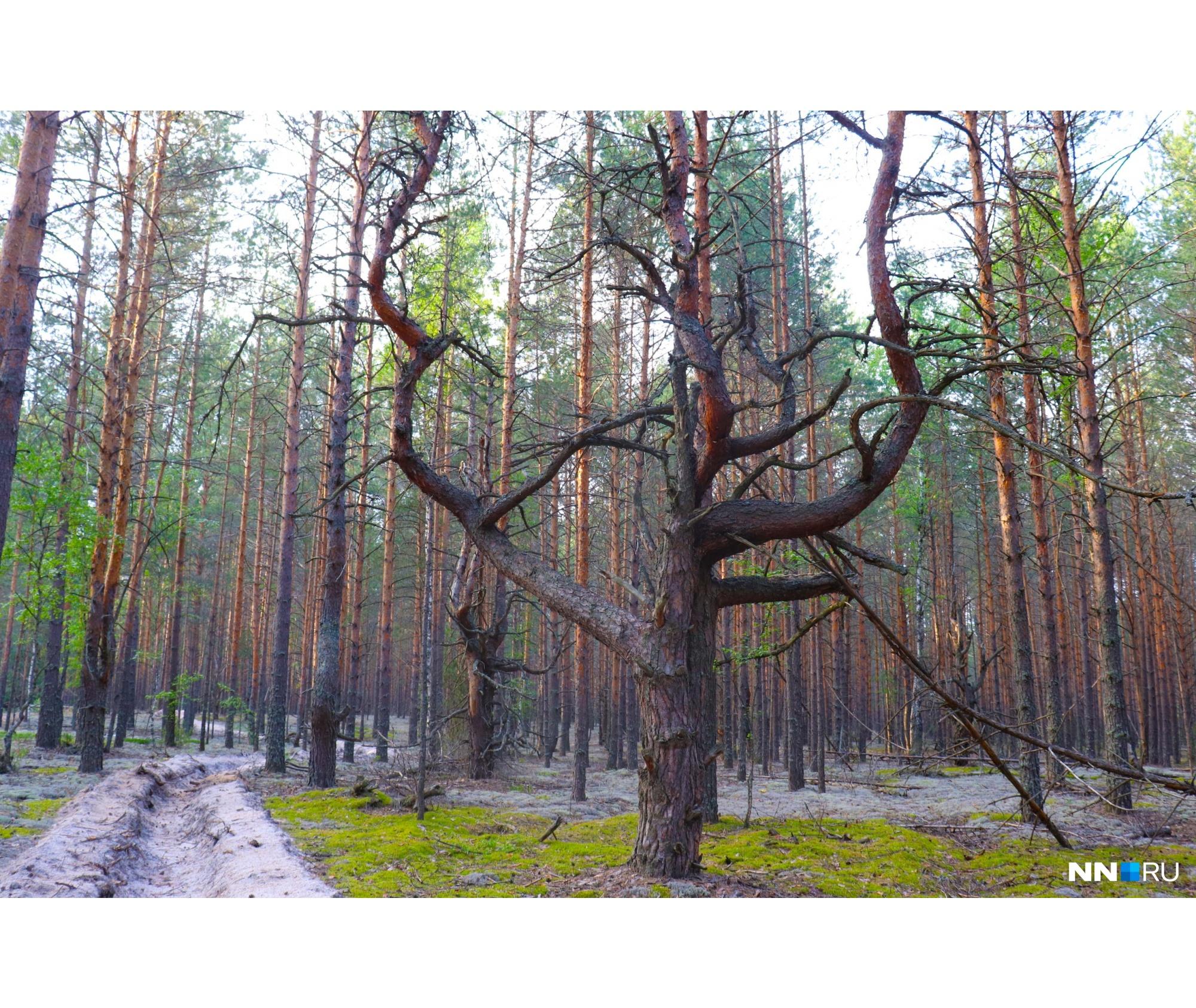 Что стало причиной таких форм деревьев в том лесу — выяснить не удалось