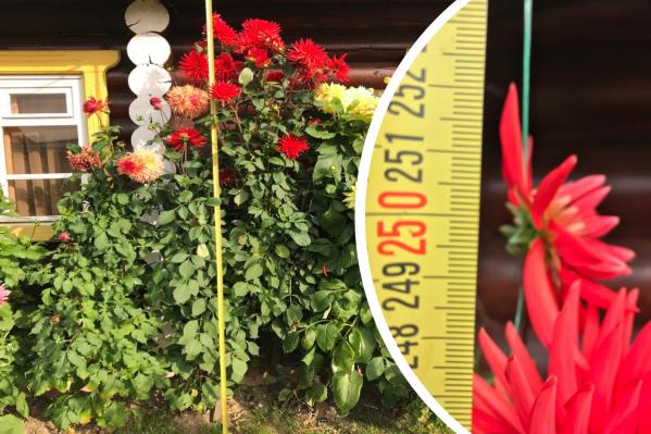Неожиданно цветы выросли аж 2,5 метра в высоту