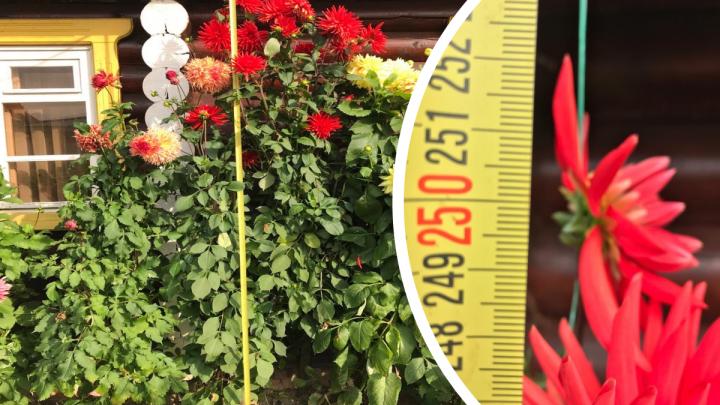 Ярославна вырастила на своей даче георгины-гиганты: секрет садовода