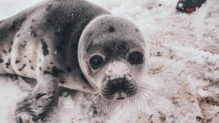 Архангельские волонтёры выдвинули проект Центра спасения тюленей Белого моря на всероссийский конкурс