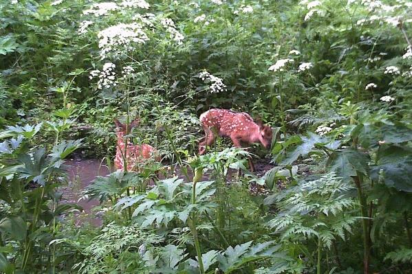 Маленькие маралы трусливы и скрываются в траве
