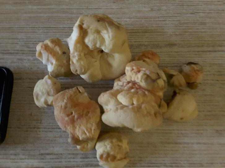 Поверхность шляпки трутовика обычно лимонно-желтая или оранжевая, с возрастом становится бледно-коричневатой, слегка опушенной или гладкой
