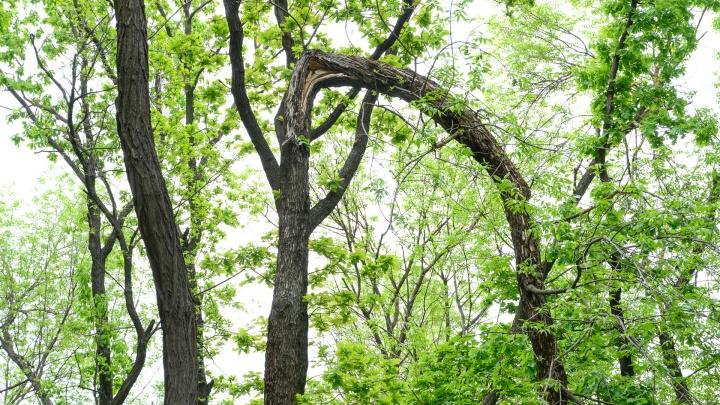 «По логике властей надо весь Ростов выкопать». Что останется от деревьев в парке «Дружба»?