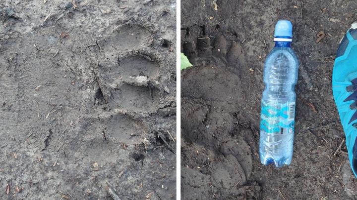 Возле видовки Гремячей гривы заметили след от медвежьей лапы. Но от прогулочной зоны это далеко