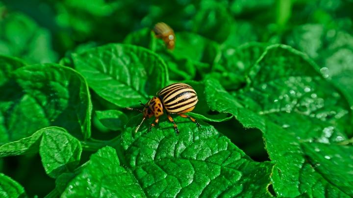 Колорадский жук атакует огороды: как с ним бороться, можно ли собирать вручную и чем опасна химия