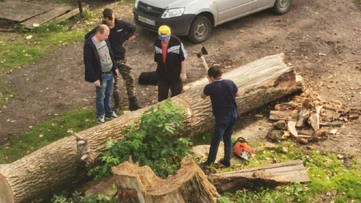 Во дворе Архангельска два месяца не могли убрать рухнувший тополь. Жильцы взялись за это сами