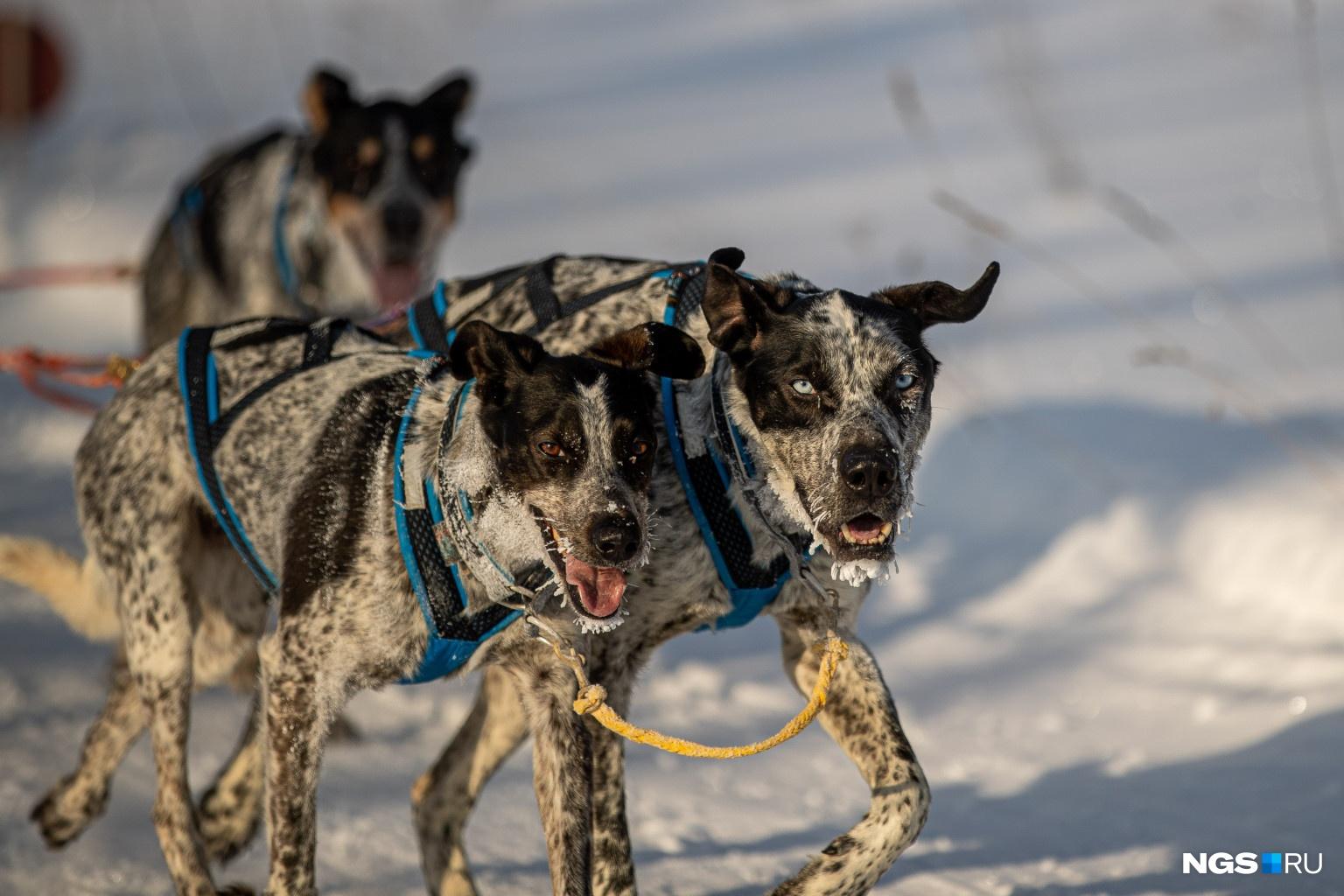 По словам Галины Милых, в сборные входят самые сильные спортсмены, которые бегают и тренируют собак в любую погоду, поэтому их не испугал мороз
