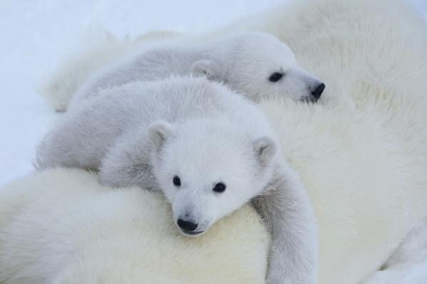 Медвежата с острова Земля Георга — гуляли вместе с мамой и прилегли отдохнуть