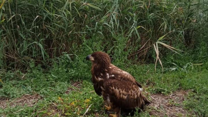 «Он шел пешком несколько километров»: под Волгоградом спасают раненого орла