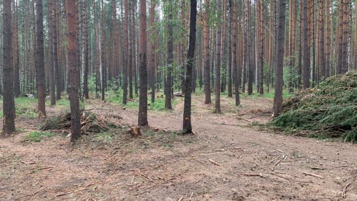 Свердловские чиновники не заметили вырубку елового леса под Сысертью