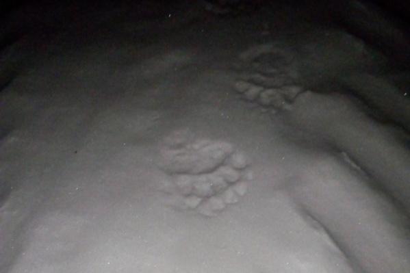Эти следы медведя обнаружили жители Яйвы
