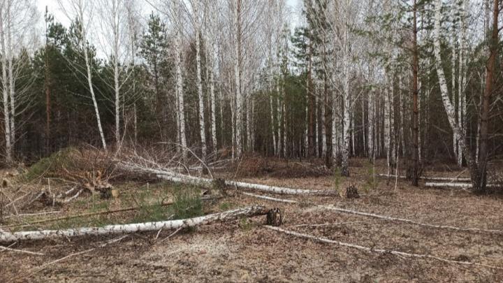 В Челябинской области приняли закон об обязательной вырубке деревьев на бесплатных участках