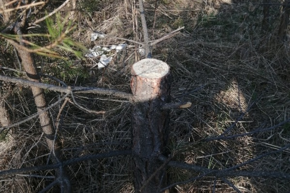 Активисты говорят, что таких вот пеньков в Ягринском бору становится больше