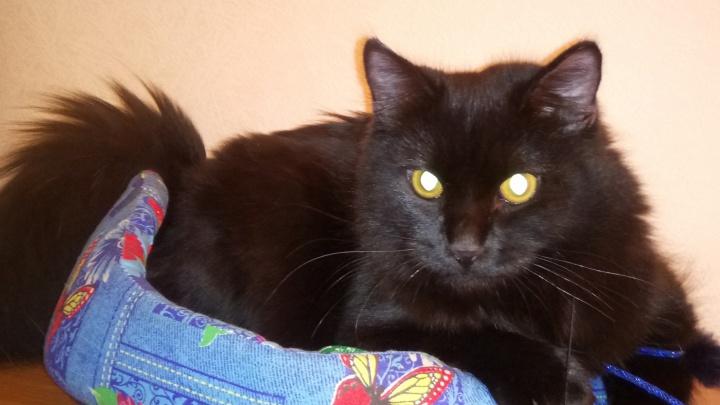 «Ехали с дачи, машина попала в ДТП»: в Перми хозяйка уже месяц разыскивает любимого кота
