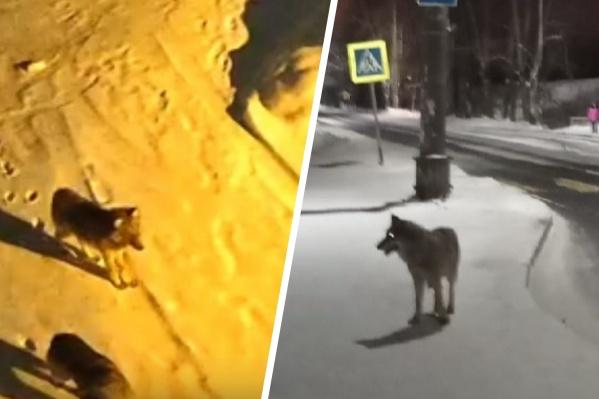 Выход волка к людям — это риск для животного. Основные причины — недостаток пищи в лесах и неумелая утилизация мусора в населенных пунктах