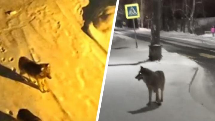 «Представьте, что в городе завелся маньяк»: как избежать встречи с волком в Архангельске