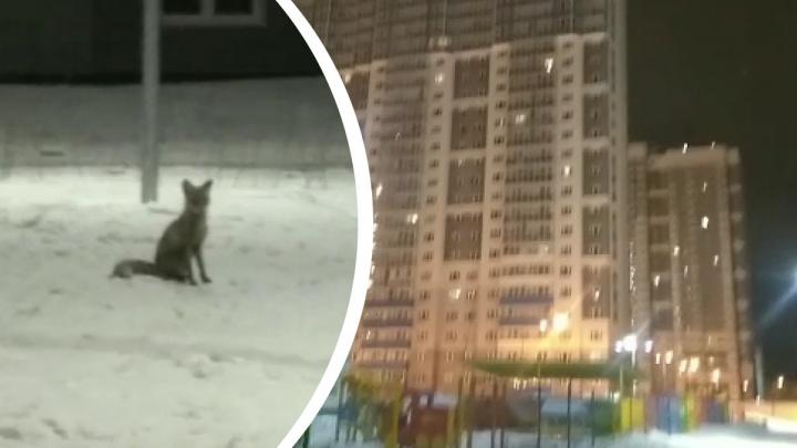 Во дворах на ЖБИ заметили лису. Охотовед рассказал, как вести себя при встрече с диким животным