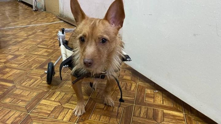 В Екатеринбурге ищут дом собаке на коляске, которую после аварии бросили хозяева