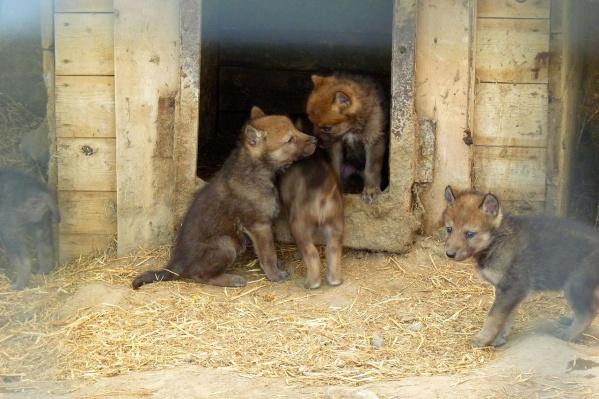 Волчата не отходят далеко от своего домика