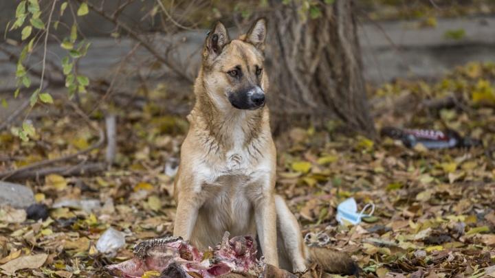 Разорвали на куски: в Волгограде найдены части растерзанного собаками мужчины
