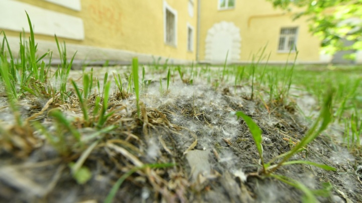 В Екатеринбурге за 15 лет избавятся от тополей