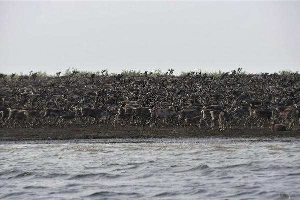 Весь берег занят дикими оленями