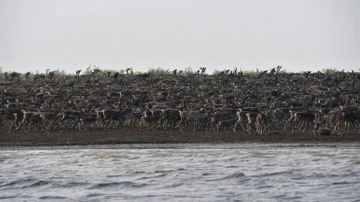 Северные олени стали десятками тысяч мигрировать через Хатангу