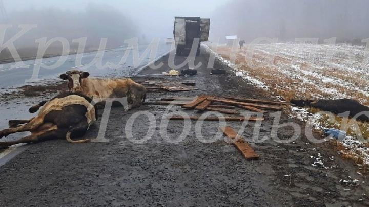 Под Тобольском грузовик с животными попал в ДТП. На трассе разбросало туши коров и овец
