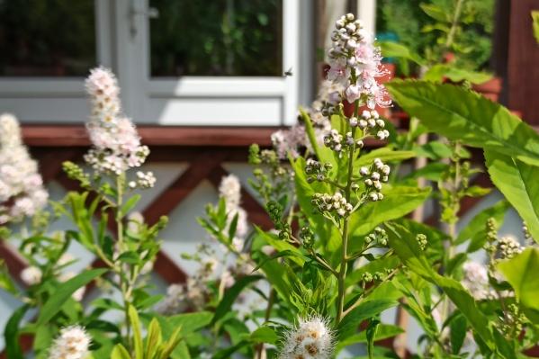 Ландшафтные дизайнеры советуют выбирать растения, которые не требуют особого ухода. Спирея березолистная как раз из таких