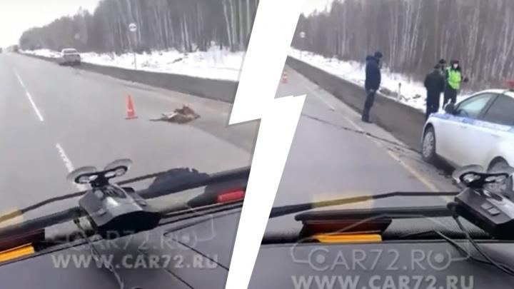 На тюменской трассе водитель иномарки сбил молодую косулю, а второй автомобиль ее переехал