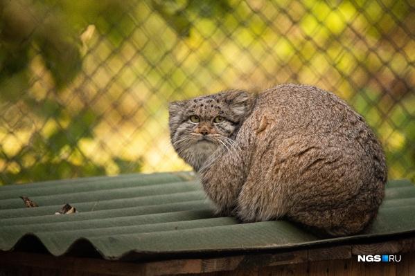 Коты приспосабливаются  к суровым зимам