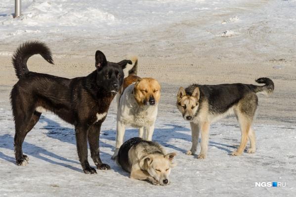В 2020 году в Новосибирске отловили804 бездомные собаки