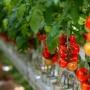 Почему помидоры в магазинах не пахнут и где купить самую вкусную руколу