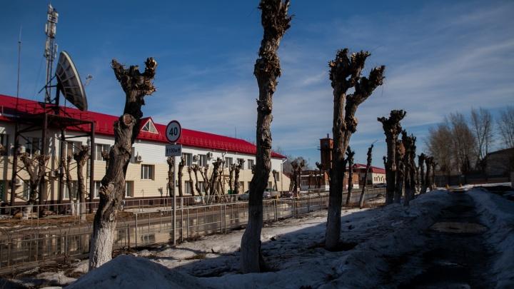Деревья-уродцы: как выглядит обрезка по-тюменски и почему это опасно для жителей